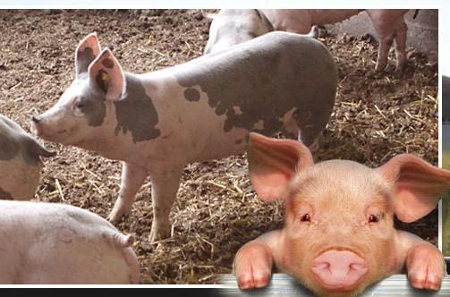 Photo le cochon de marzan